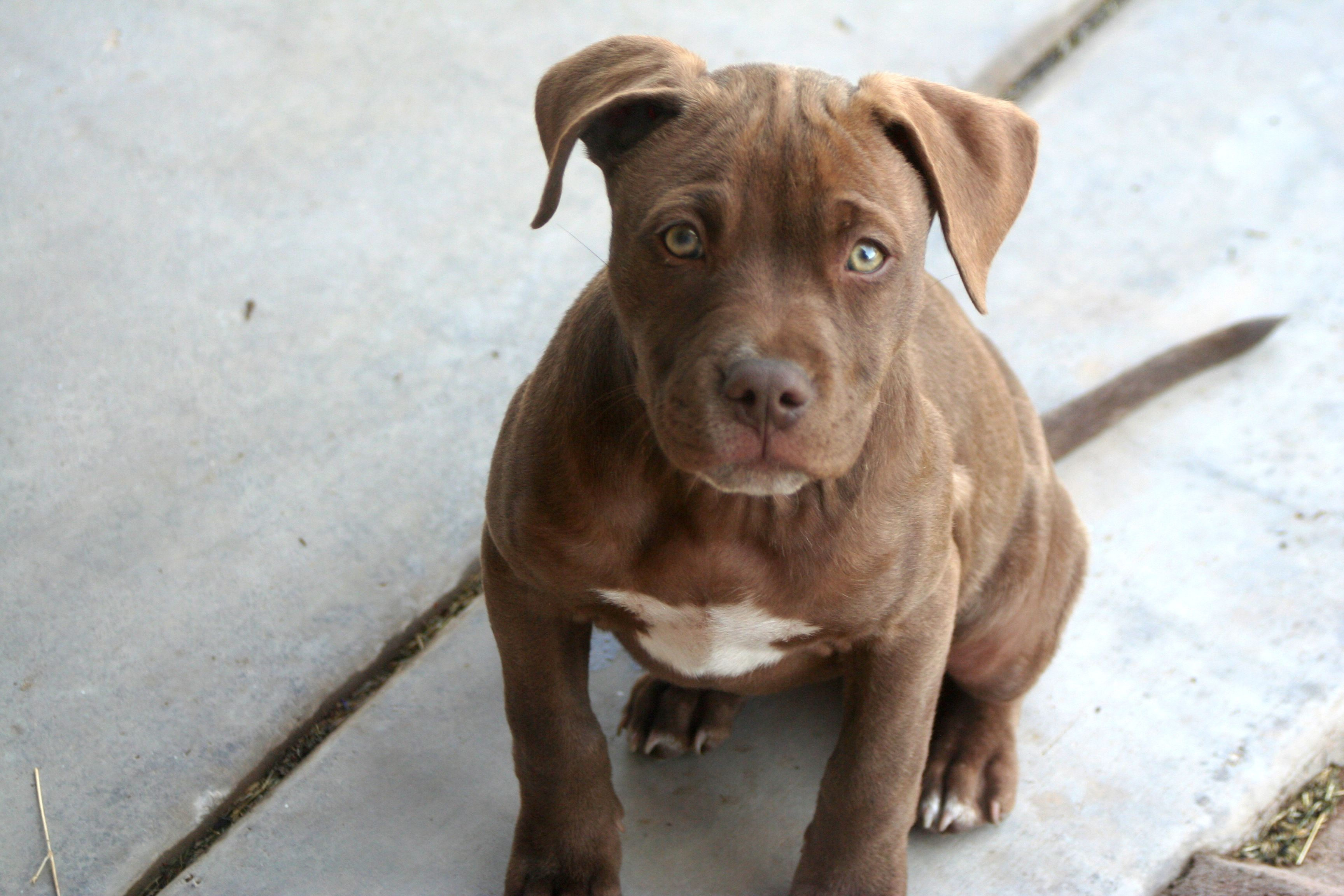 Blue Red Nose Brindle Pitbull Puppy Sitting