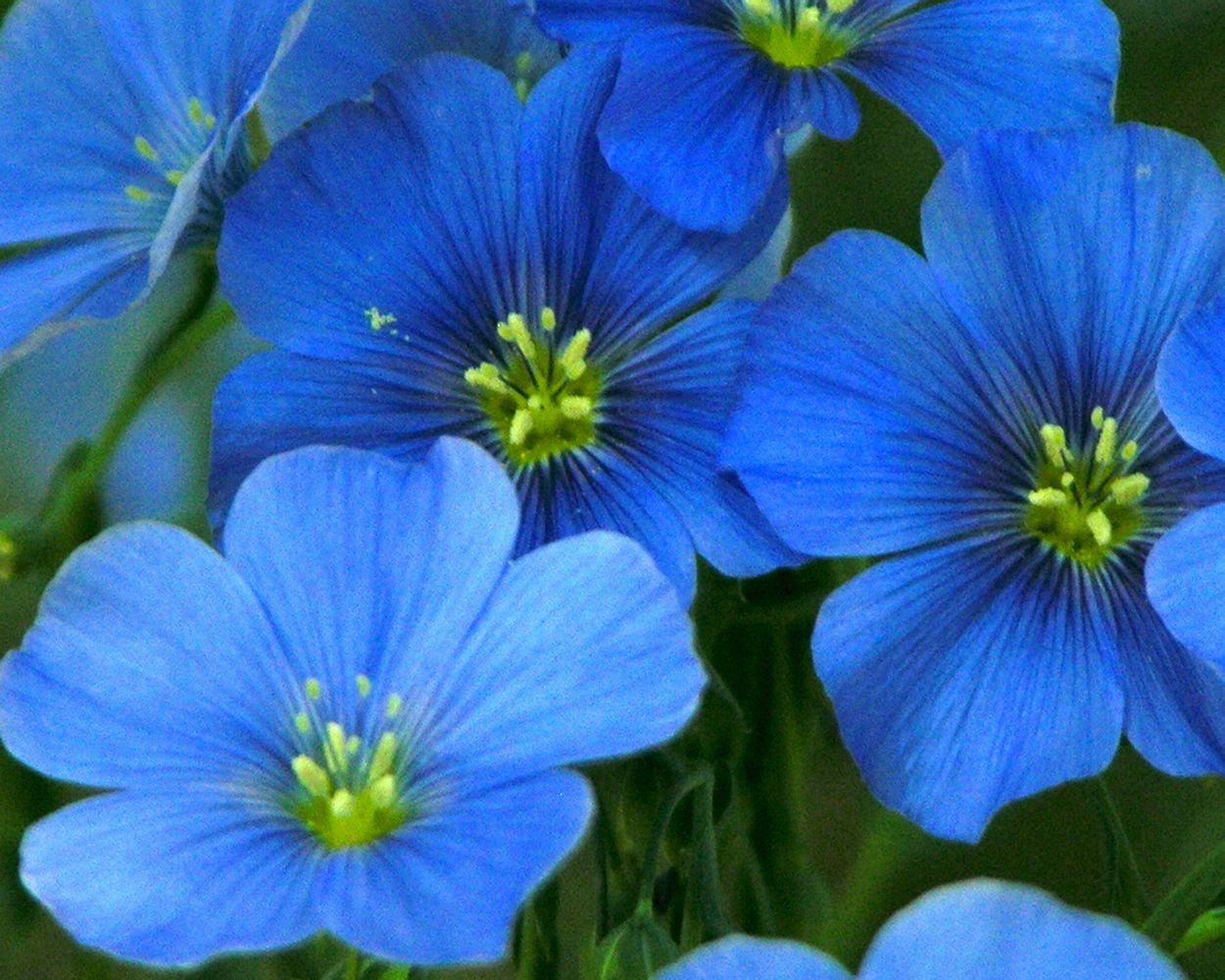 Blue Flax Linum Lewisii Linaceae Flax Flowers Flower Seeds Deer Resistant Garden