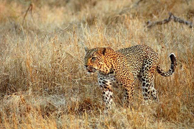 Leopard  Photo Credit - Safari Partners/ Flickr