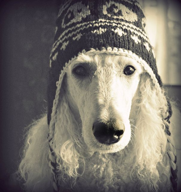 Winter Ready Poodle Dog Love Cute Animals