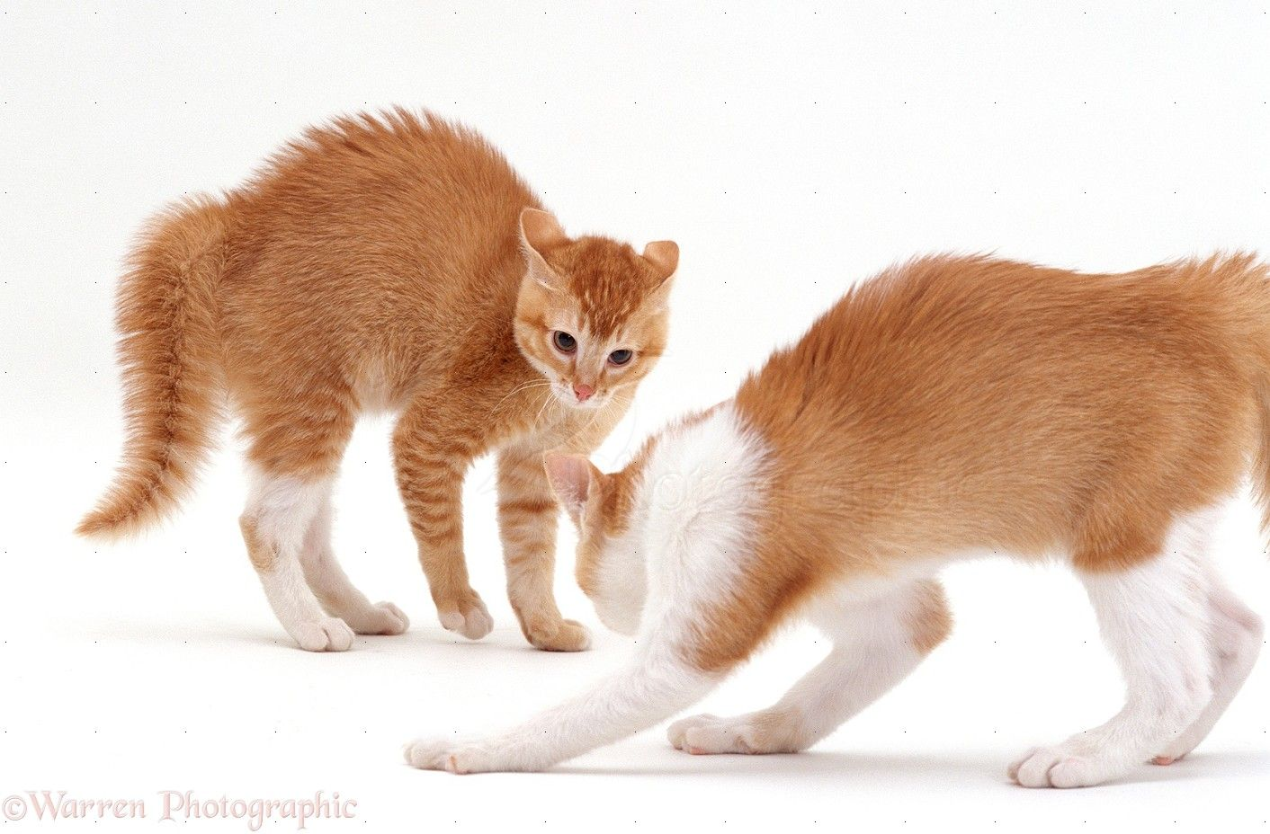 Kittens In Arched Back Play Fight Posture Photo Wp16681 Arched Kittens Play Playing Posture Fight Ginger Cat Cats Standing In 2020 Cat Reference Cat Pose Cat Stands