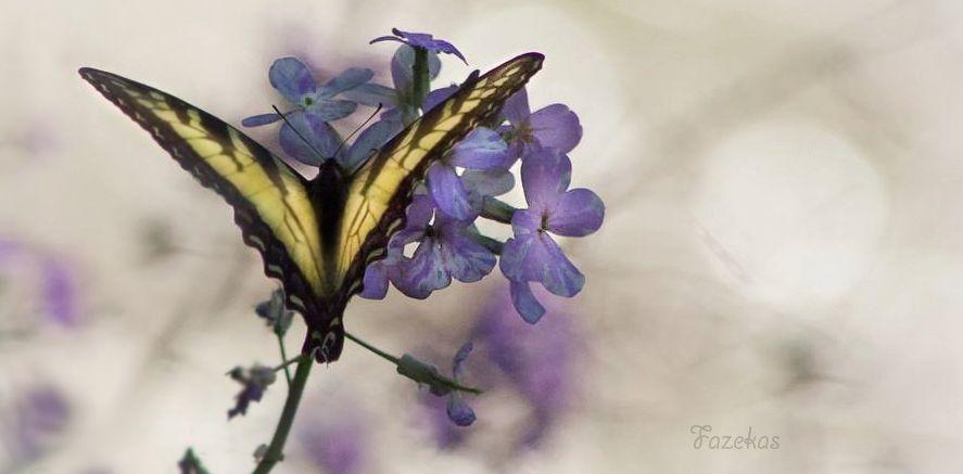 butterflies; flowers
