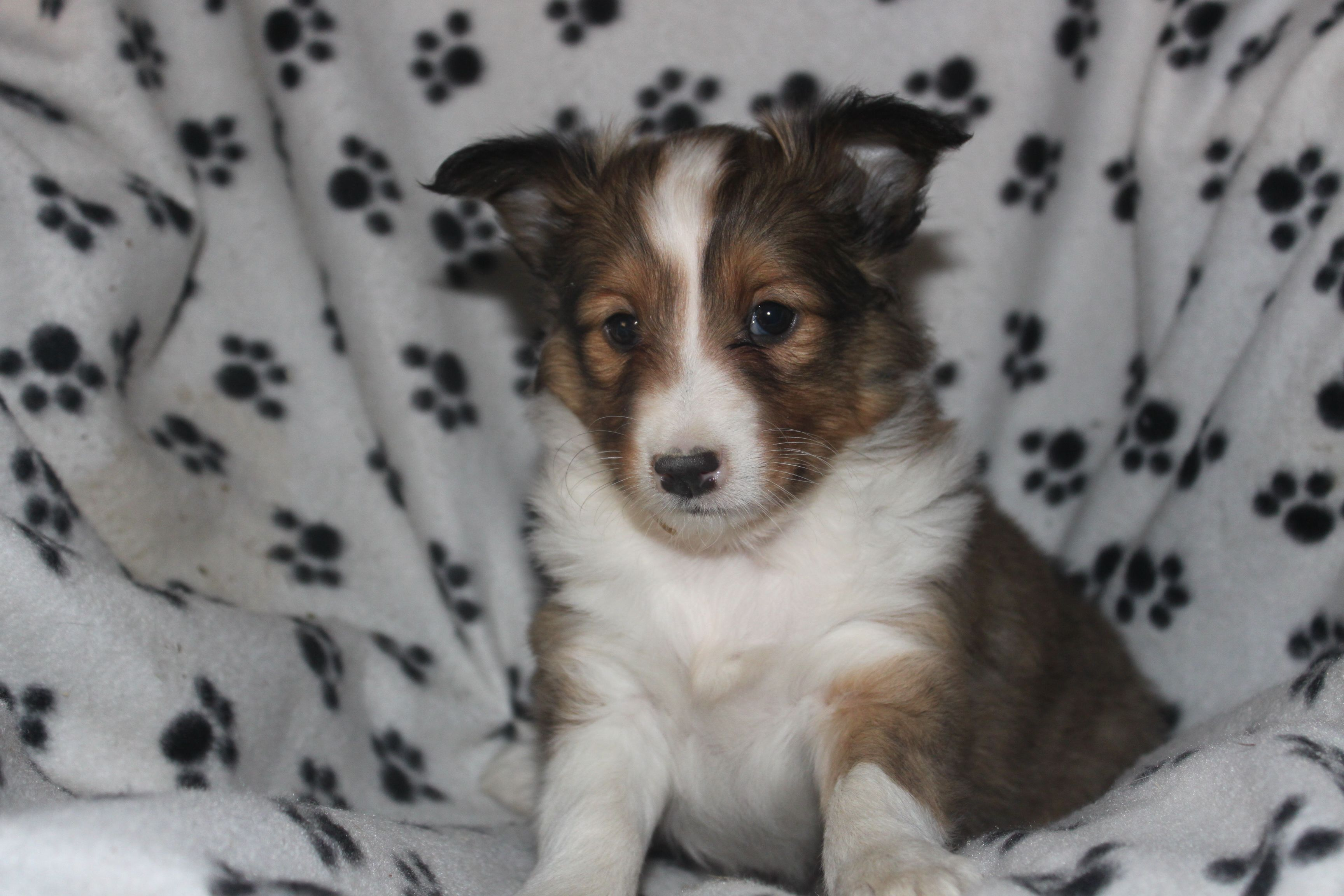 Sheltie Puppy For Sale In Pa This Is A Sheltie Puppy 8 Weeks Old For Sale At Http Www Network34 Com Sheltie Puppies For Sale Sheltie Puppy Puppies