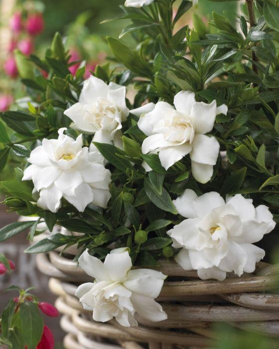 Gardenia Jasminoides Perfumed Petticoats Rasteniya