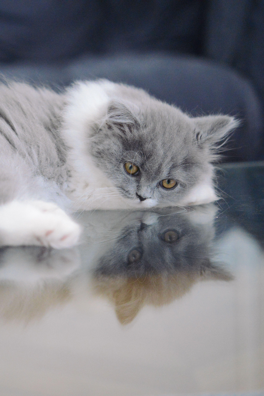 choisir un levage de chat british caract re du chat british pinterest. Black Bedroom Furniture Sets. Home Design Ideas