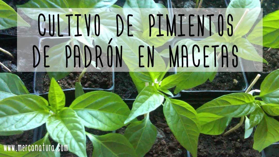 cultivo de pimientos de padrón en macetas en primavera y verano