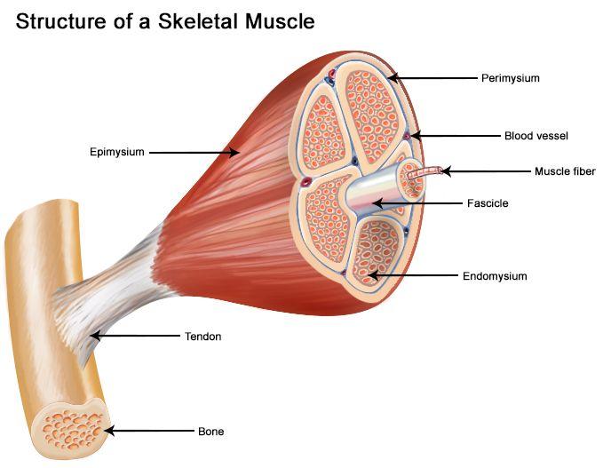 https://training.seer.cancer.gov/images/anatomy/muscular ...