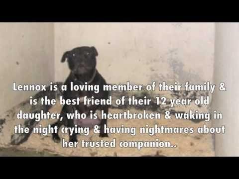 Belfast Dog Warden Terrorized As Save Lennox The Dog Campaign Continues Irishcentral Com Saving Lives Lennox Pitt Bulls