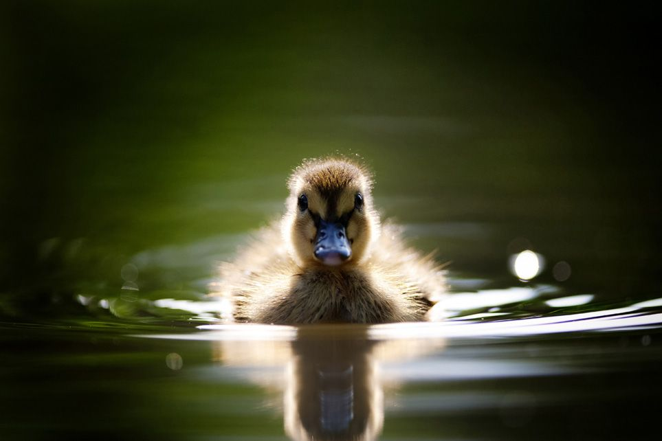 The French Alps (mit Bildern) Wasservögel, Tiere