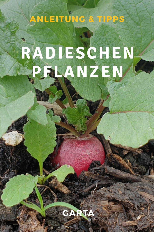 Radieschen Selber Pflanzen Anbau Tipps Mit Anleitung In 2020 Pflanzen Garten Gemuse Anbauen