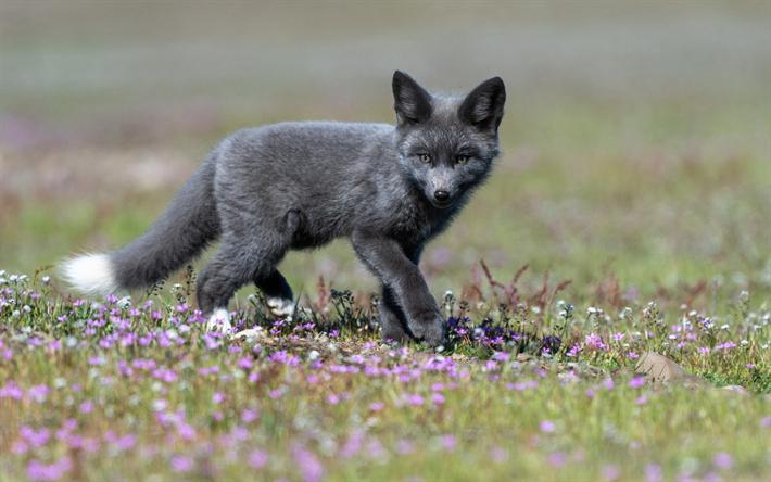 Download Wallpapers Black Fox Little Fox Wildlife Forest Wild Animals Animals Wild Fox Pups Animals