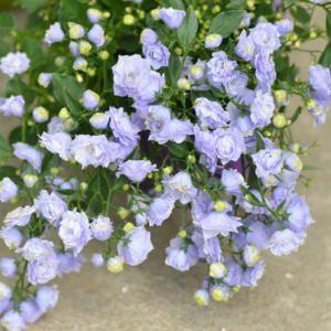 Bellflower Campanula X Haylodgensis Blue Wonder In The Bellflowers Database All Things Plants Campanula Plants Bellflower
