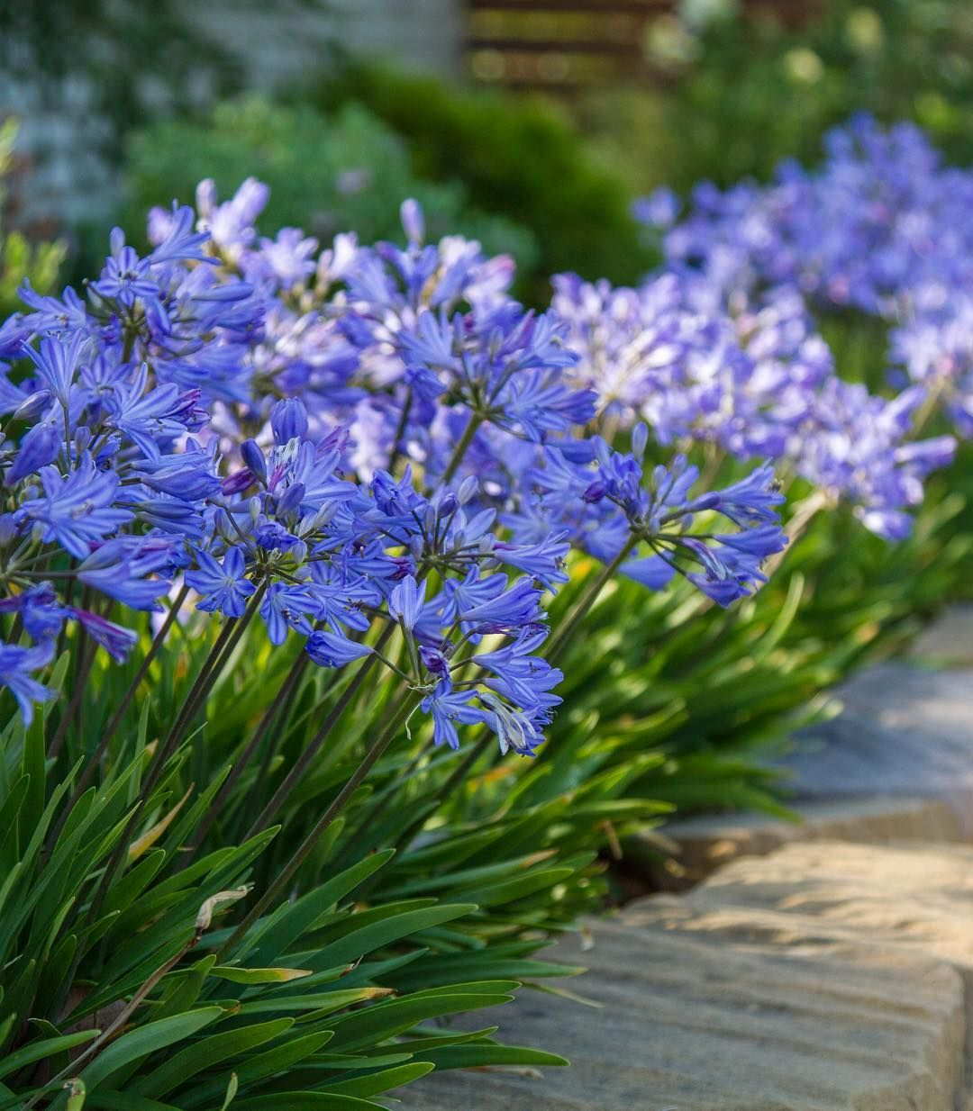 Plants Management Australia On Instagram Agapanthus Baby Pete Is The Very Definition Of A Cool Plant Icy Blue Flowers Look Plants Cool Plants Agapanthus
