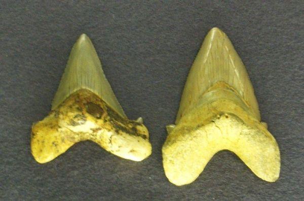Carcharodon turgidus