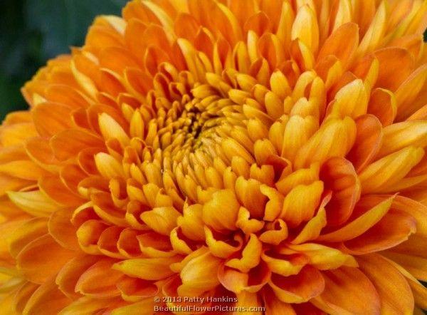 Bold Vanessa And Honey Glow Decorative Chrysanthemums Chrysanthemum Flower Images Glow