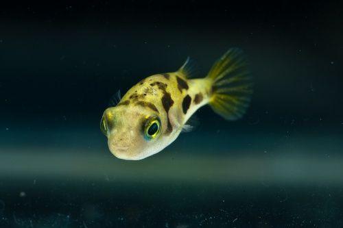 Kolcobrzuch Karlowaty Rarytas Wawa Ekh 5133278113 Oficjalne Archiwum Allegro Dwarf Puffer Fish Puffer Fish Small Fish Tanks