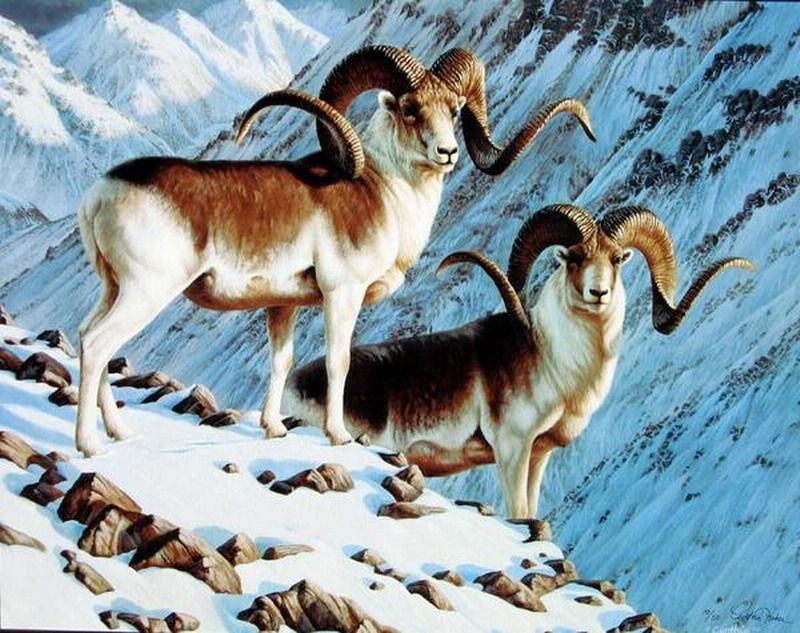 Marco polo sheep | PAKISTAN - NATURE\'S BLESSING | Pinterest | Marco ...