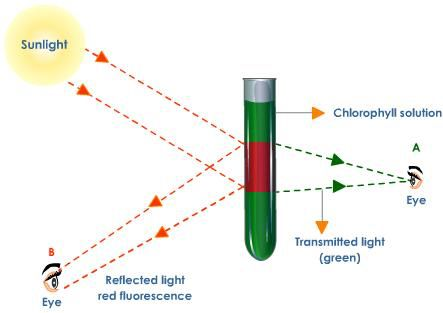 Image from http://images.tutorvista.com/content/photosynthesis/fluorescence-demonstration-by-chlorophyll.jpeg.