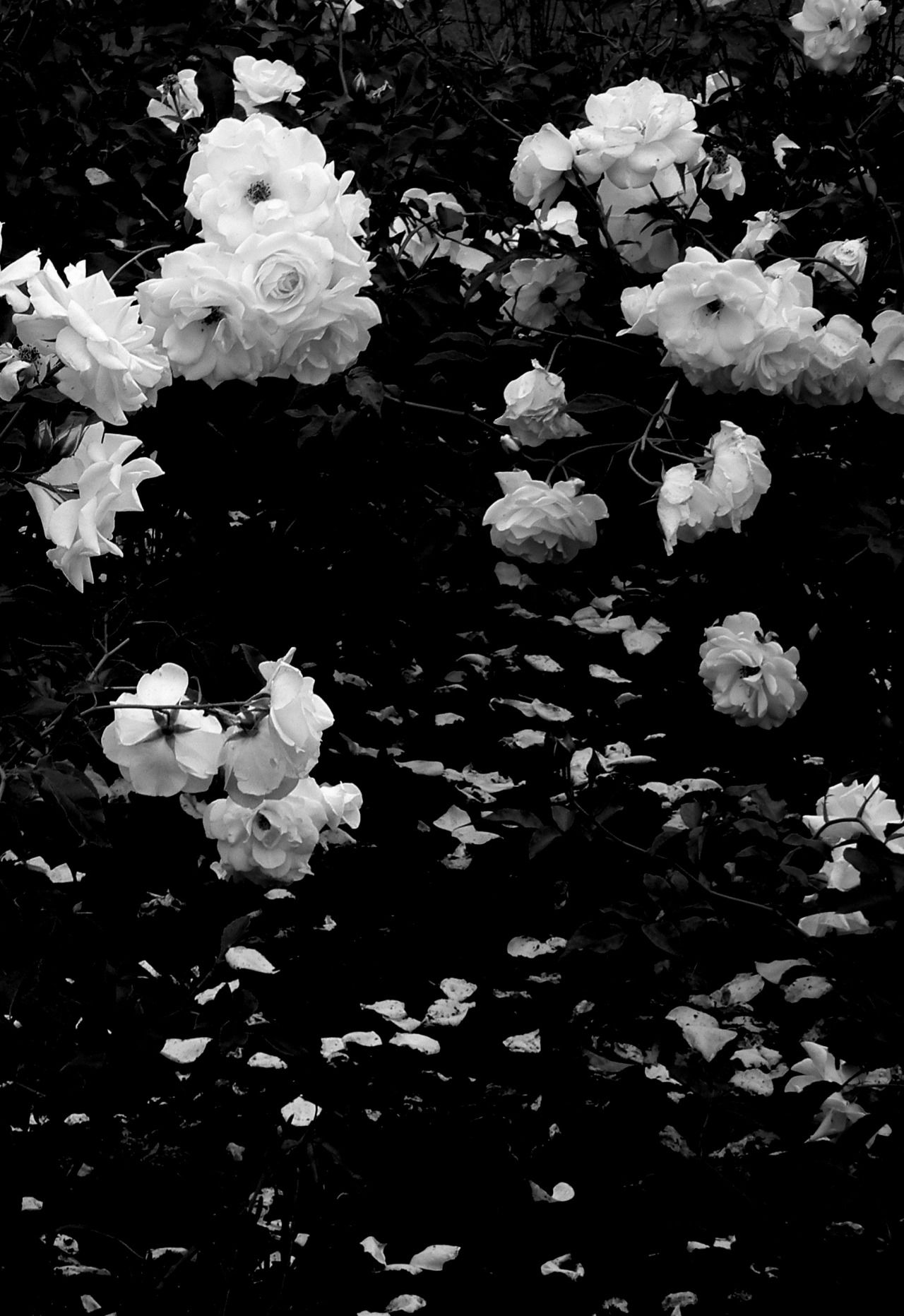 Devore Black And White Roses Black Aesthetic Wallpaper Dark Flowers