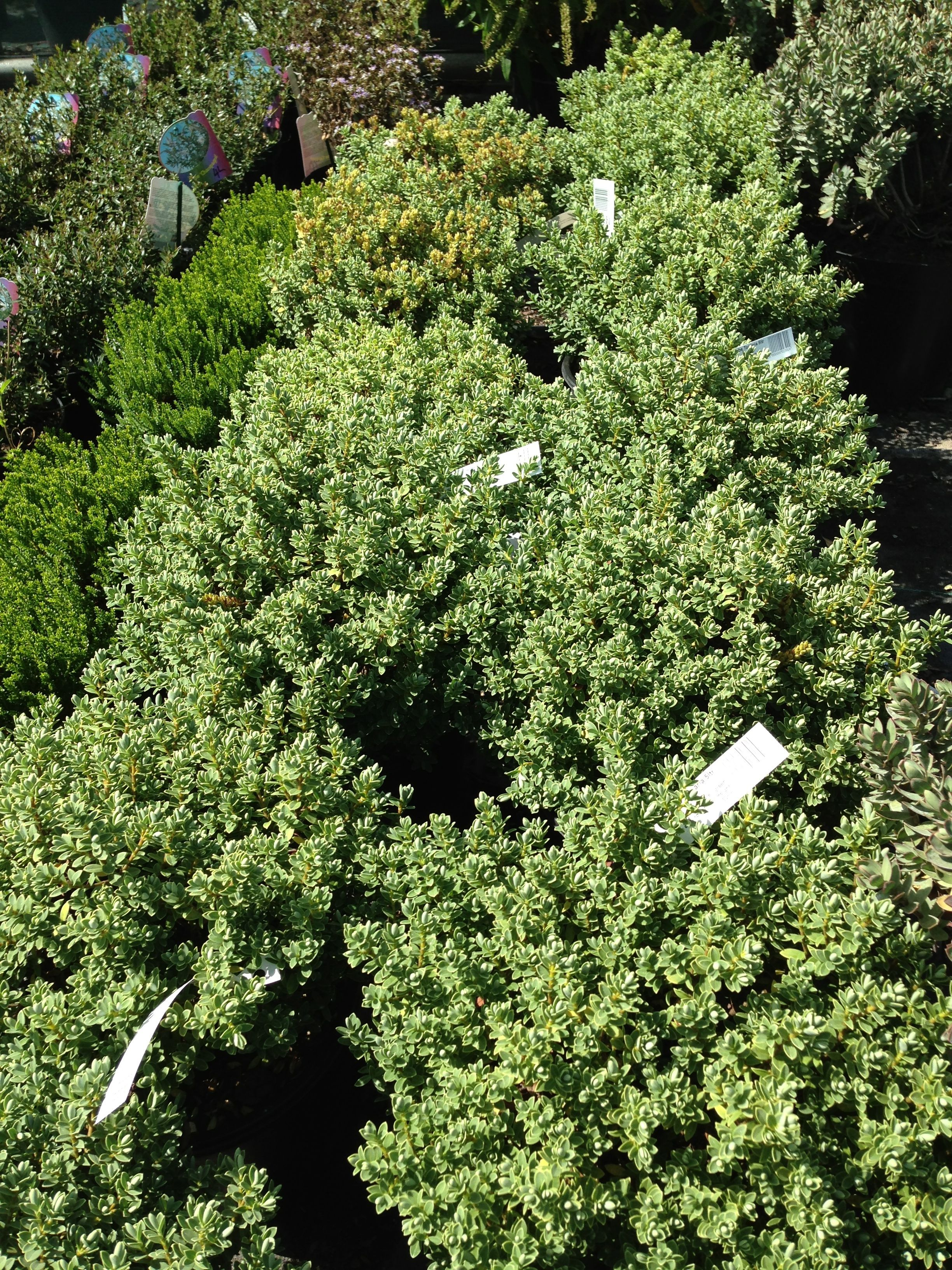 Hebe topiaria 50cm early summer Evergreen shrubs