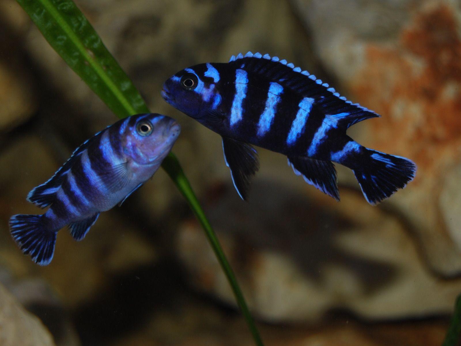 Cool Demasoni Pombo  Pseudotropheus Demasoni Malawi Cichlidsafrican Cichlidsaquarium Fishtropical
