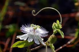 Resultado de imagem para flores de maracujá
