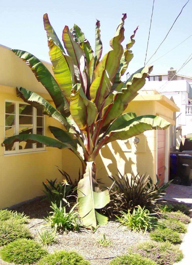 Ensete species ethiopian bananas landscaping pinterest