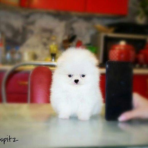 Available Puppies   Adopt Teacup Pomeranian puppies   Adorable Pomeranian Puppies #teacuppomeranianpuppy