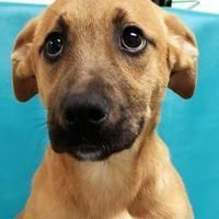 Morton Grove, IL - Black Mouth Cur. Meet Carol a Pet for Adoption. #blackmouthcurdog Morton Grove, IL - Black Mouth Cur. Meet Carol a Pet for Adoption. #mortongrove