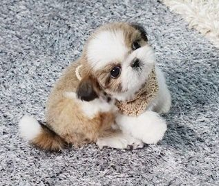 Quality Teacup Shih Tzu Puppies For Sale #cuteteacuppuppies