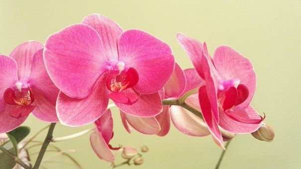 Butterfly Orchid Orchid Orchids Orchid Wallpaper Orchids Orchid Flower Plant