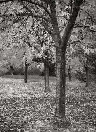 Fall Tree Grove I BandW