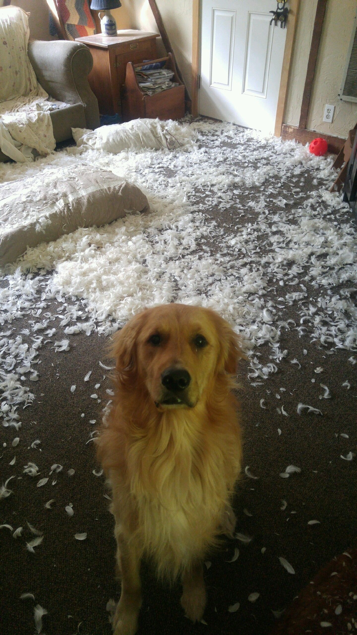Will The Mystery Be Solved Which Of These Three Golden Retrievers Do You Think Is The Cause Of The Feather Mess Golden Retriever Dogs Funny Animals
