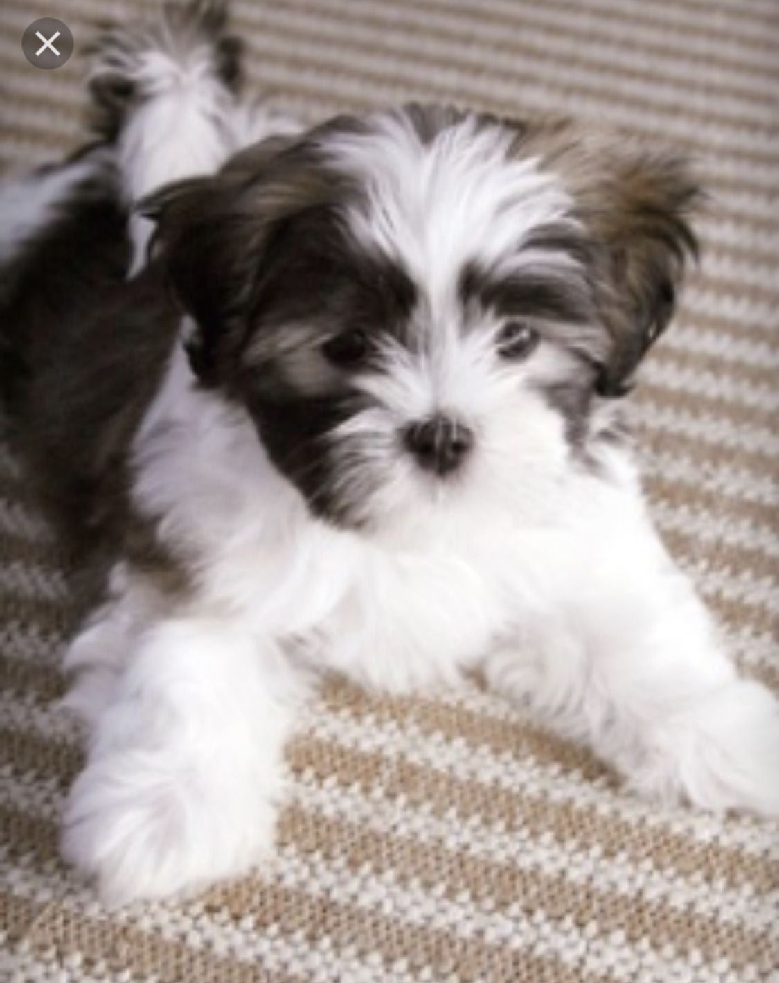 Maltipoo Shitzu Mix Puppies Maltese Shih Tzu Shih Tzu Dog