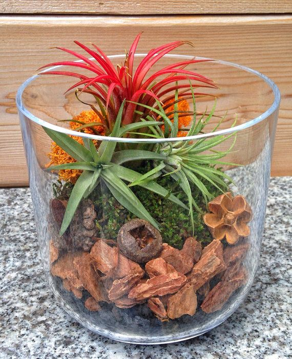 Small Easy Care Low Maintenance Air Plant by ...