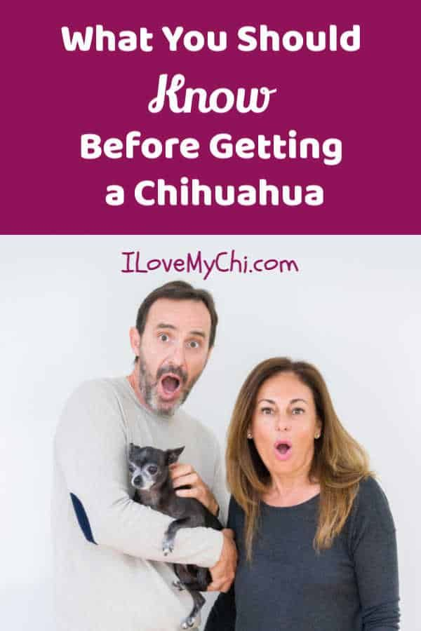 What You Should Know Before Getting A Chihuahua Chihuahua Big