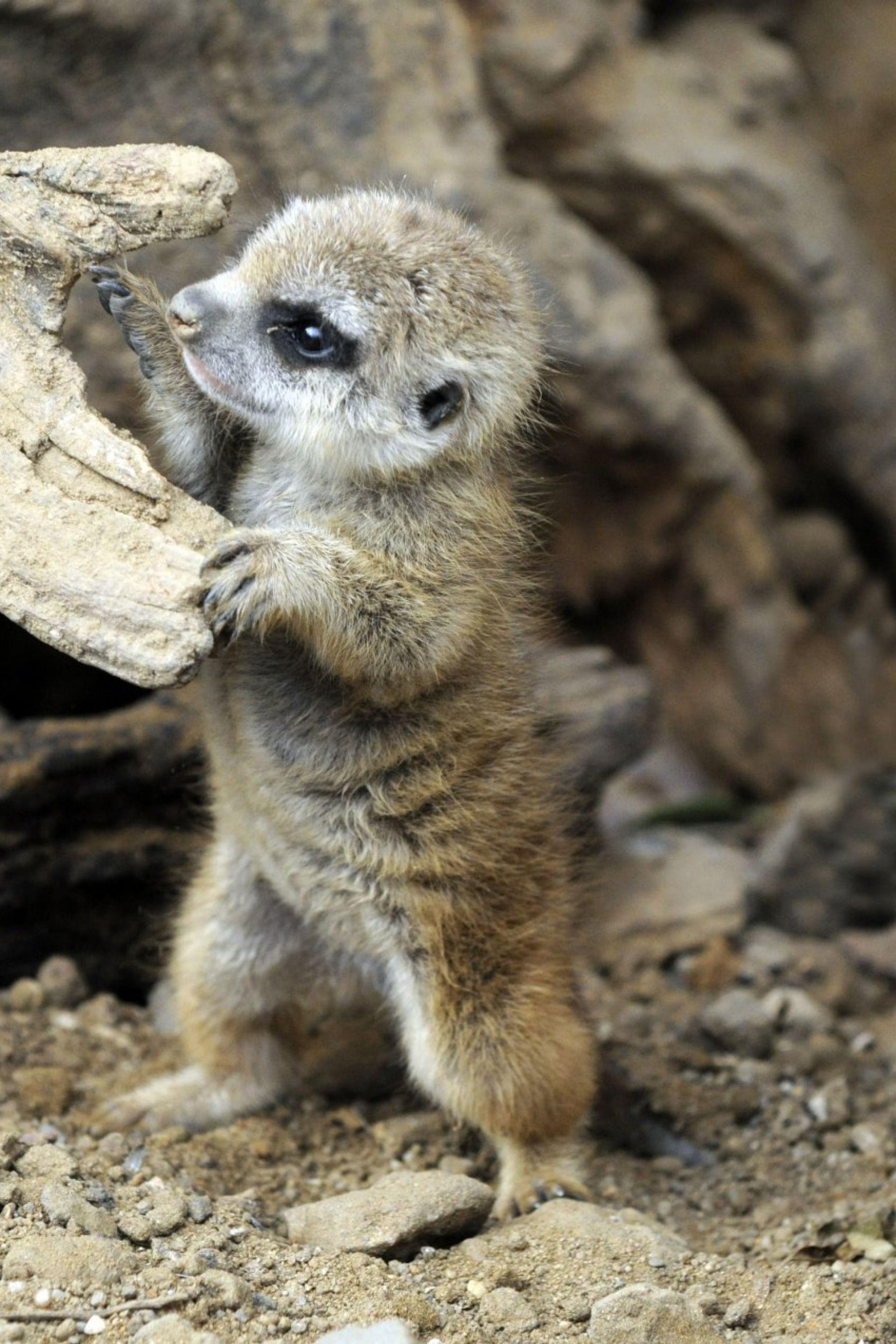 Suricate Babymammals Suricate かわいい動物の赤ちゃん ミーアキャット 可愛すぎる動物