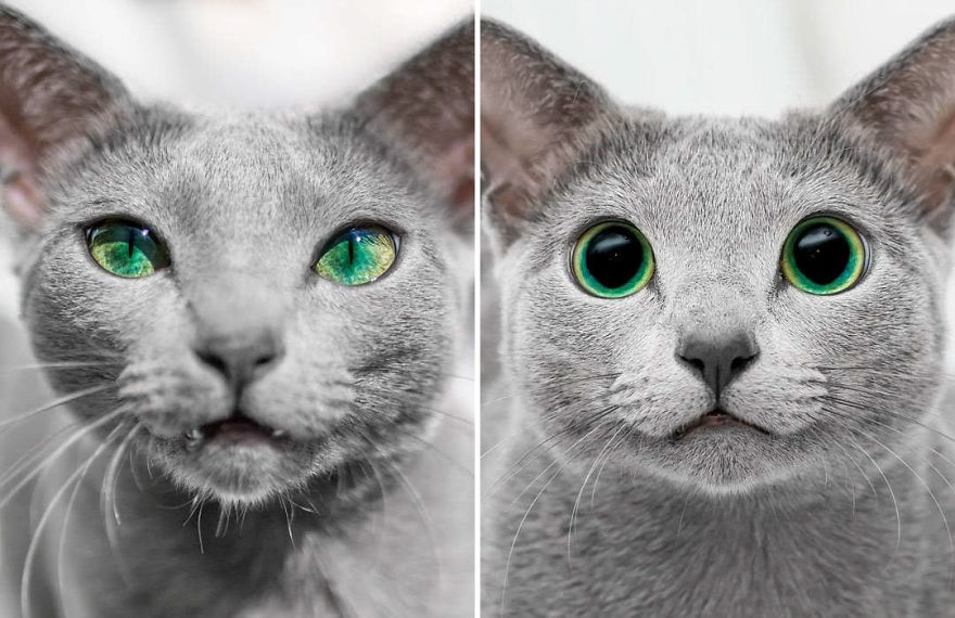 These Russian Blue Cats Have The Most Mesmerizing