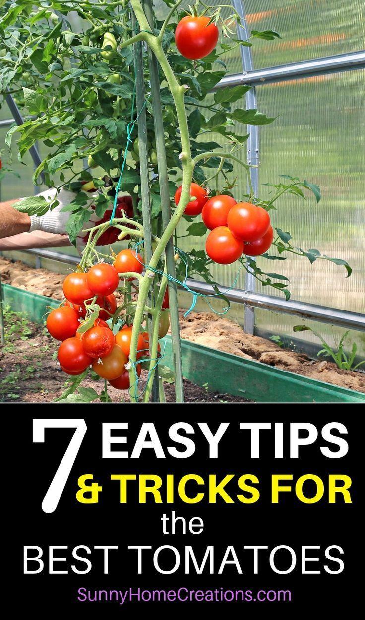 7 Tipps und Hacks wachsen Huge, Saftige Tomaten