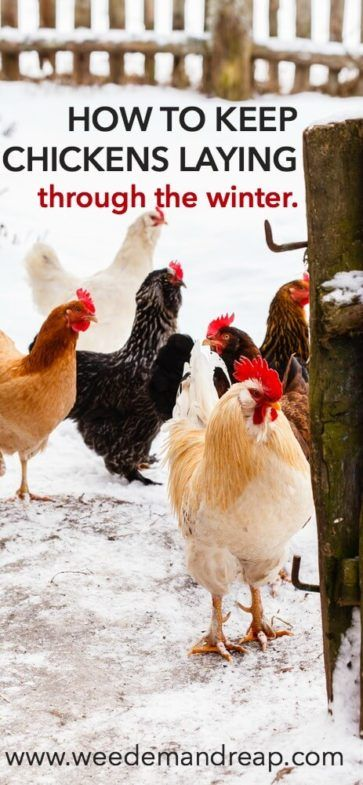 How To Keep Chickens Laying Through The Winter   Chickens ...