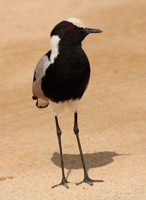 BLACKSMITH LAPWING (Vanellus armatus) a.k.a. Blacksmith Plover -Kenya, C Tanzania to S & SW Africa