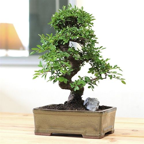 1000 images about chinese elm bonsai on pinterest chinese elm bonsai chinese and bonsai chinese elm bonsai tree