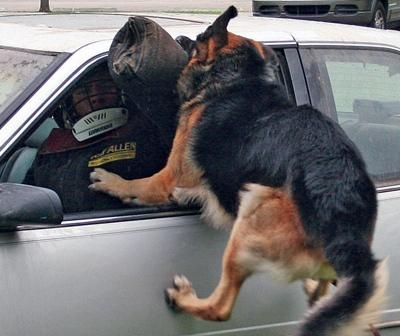 K 9 Dogs In Action Police Dogs Police Dog Training Dual