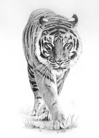 Prowling Tiger by ~peterrrrrrrrrrrrrrrr on deviantART #AnimalArt #Art #Tiger