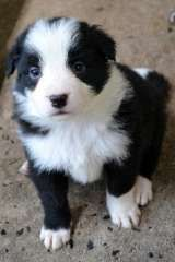 Border Collie Pups Puppies For Sale Noble Park North Victoria Border Collie Dogs For Sale In Austr Collie Puppies Border Collie Puppies Collie Dog For Sale