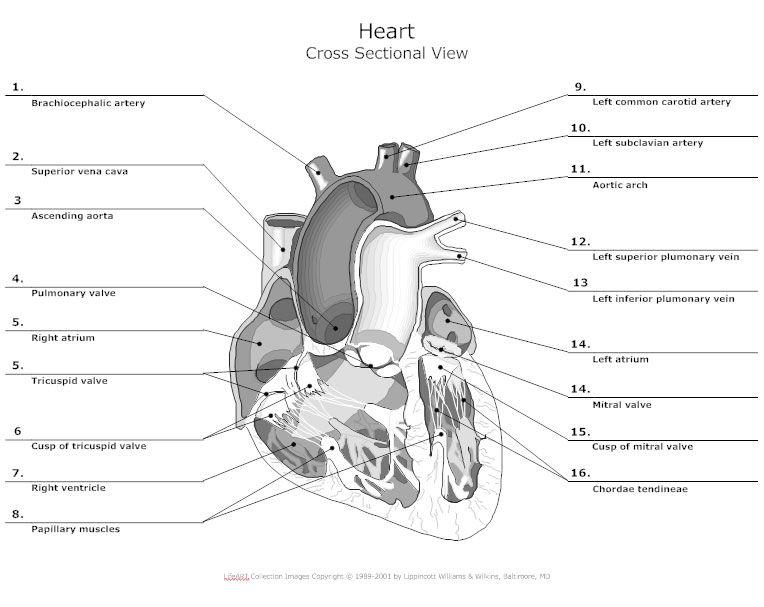 Heart Cross Sectional View Jpg 764 607 Heart Anatomy Heart
