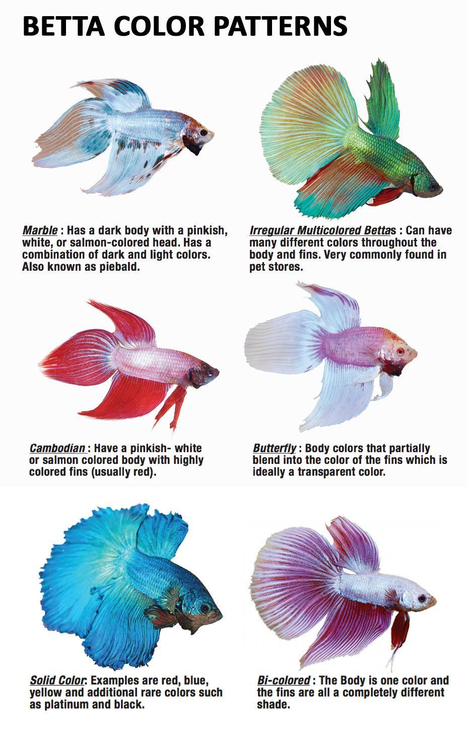 These Are The Most Common Types Of Betta Fish Plakat Betta Closely Related To The Traditional Fighting Betta The Plak Betta Fish Types Betta Fish Tank Betta