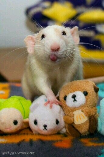 Cute rat with tongue sticking out