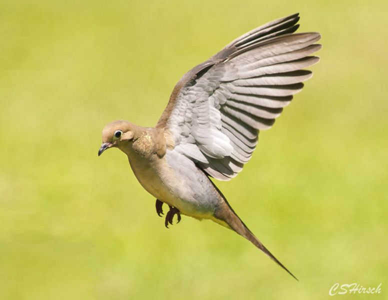 Mourning dove in flight birds photo by cshirsch for Mourning dove tattoo