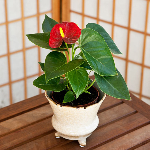 Anthurium Any Color Plant Plants Indoor Flowering Plants Plants Online